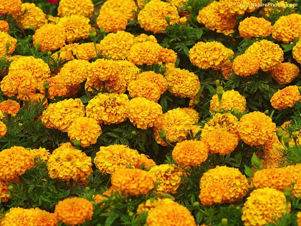 marigolds by eugenia collier lizabeth Marigolds by eugenia w collier why is lizabeth's father's words and sobs so disturbing to her why does this scene motivate her to her next actions.