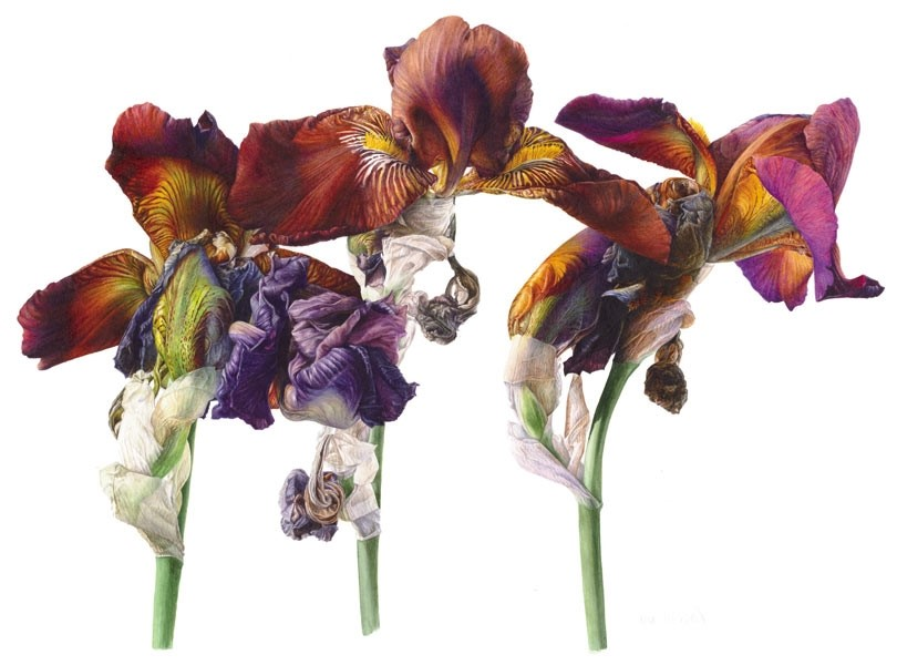 Iris 'Action Front' by Fiona Strickland SBA