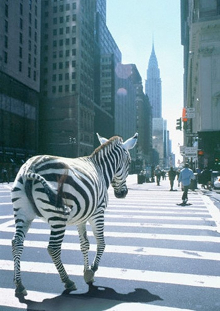 A Zebra in New York
