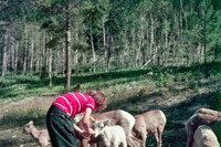A child feeding mountain sheep on the Banff-Lake Louise road