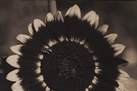 Edward Steichen A Bee on a Sunflower