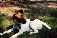 Our first Smooth Fox Terrier John, 1988-2001