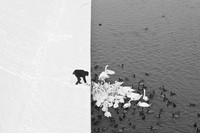 A Man Feeding Swans in the Snow
