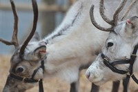 Reindeers at ZSL London Zoo