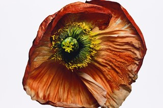 Iceland Poppy (B), New York, 2006 The Irving Penn Foundation
