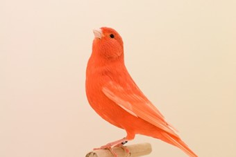 Red Canary #1