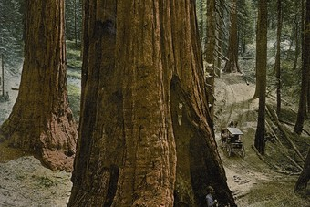 "Mariposa Grove, ""Three Graces"", Yosemite National Park, Cali"