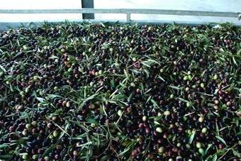 Olive harvest at the Suryalila Retreat Centre, Spain