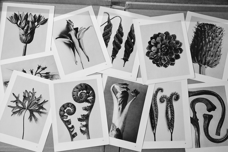 Photographs from Karl Blossfeldt's Urformen der Kunst (Art F