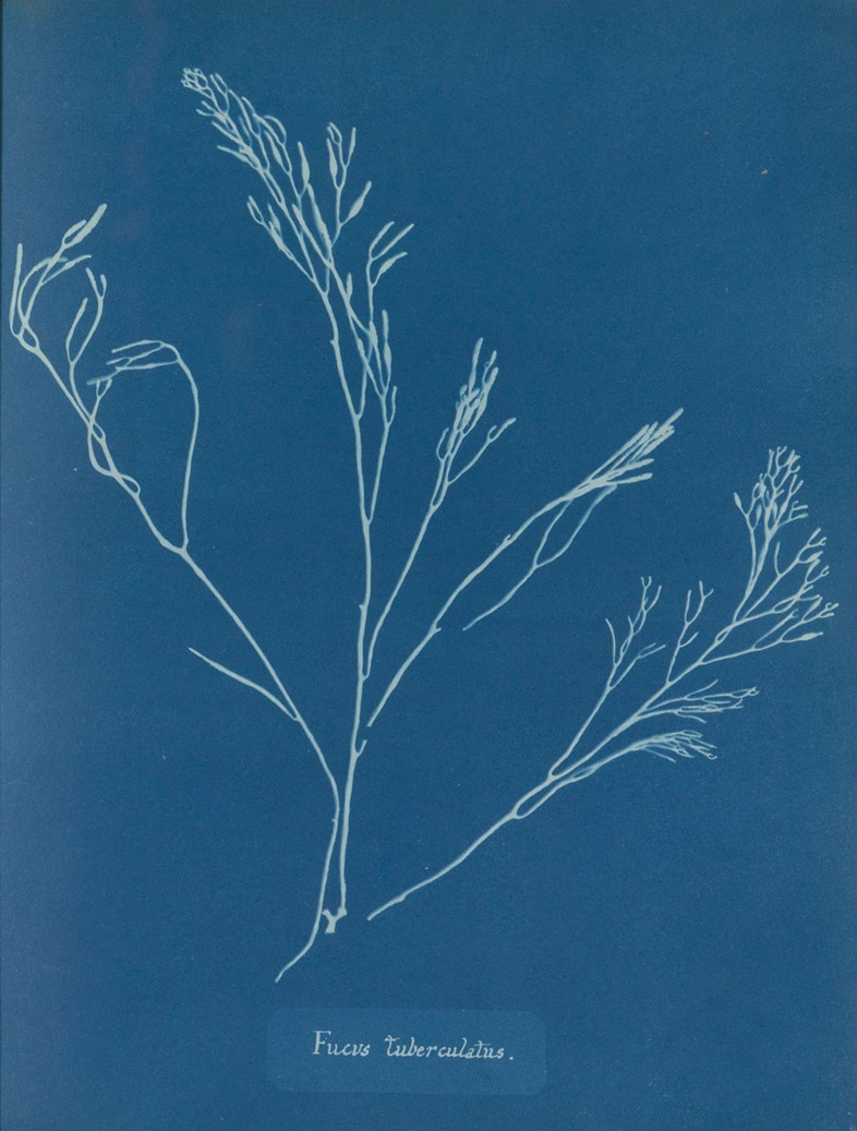 Anna_Atkins_Photographs_of_British_Algae_-Cyanotyp