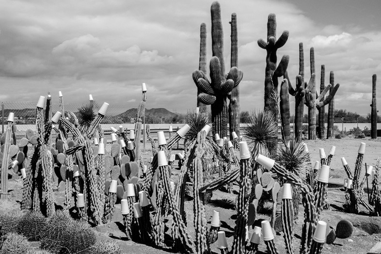 Winter-cactus-garden.-Paper-cups-to-protect-agains