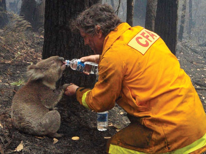 Firefighter feeds water to a koala