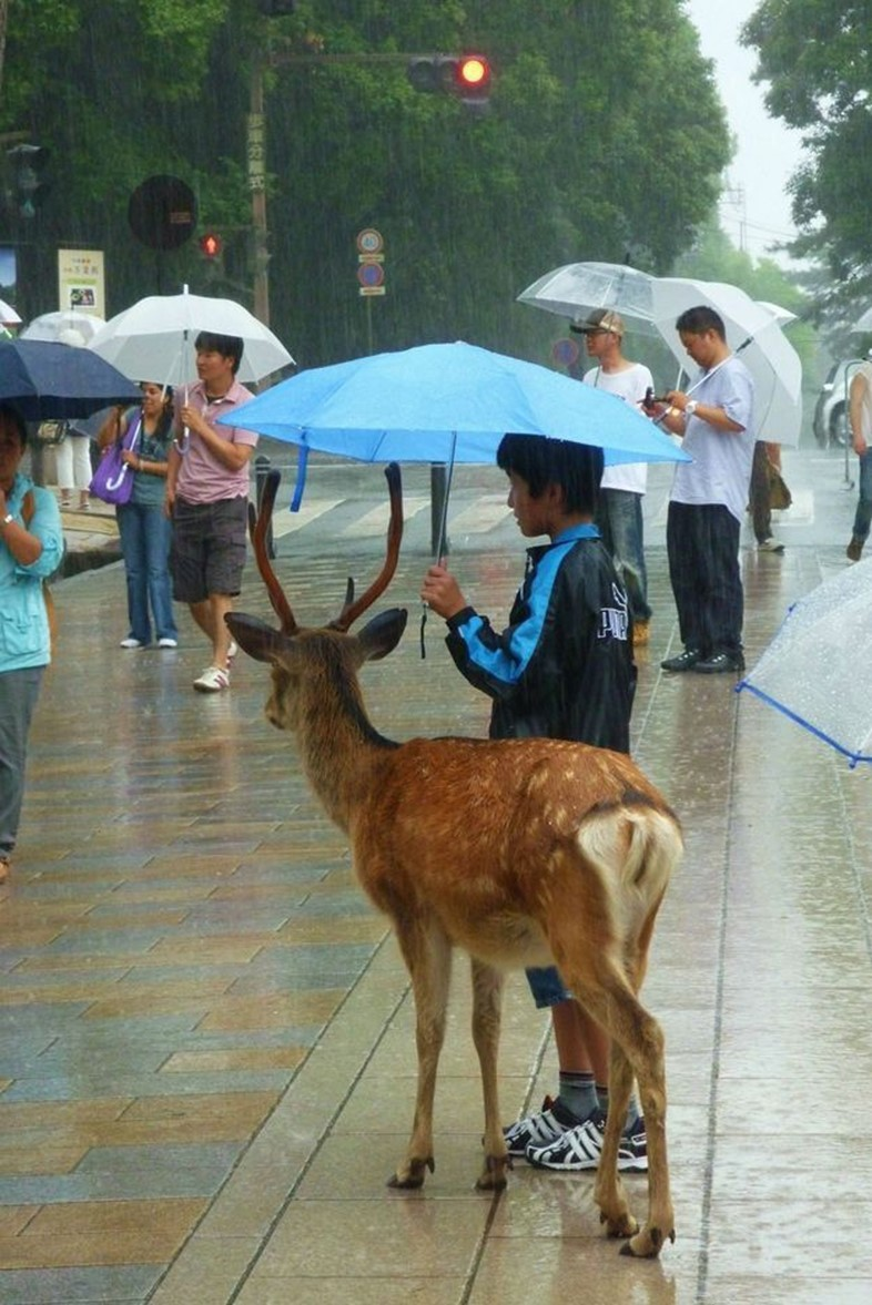 Boy shelters deer, Japan