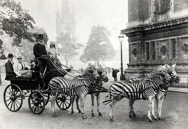 Lord Rothschild with his famed zebra-drawn carriage