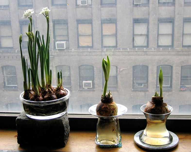 Paperwhites on a windowsill