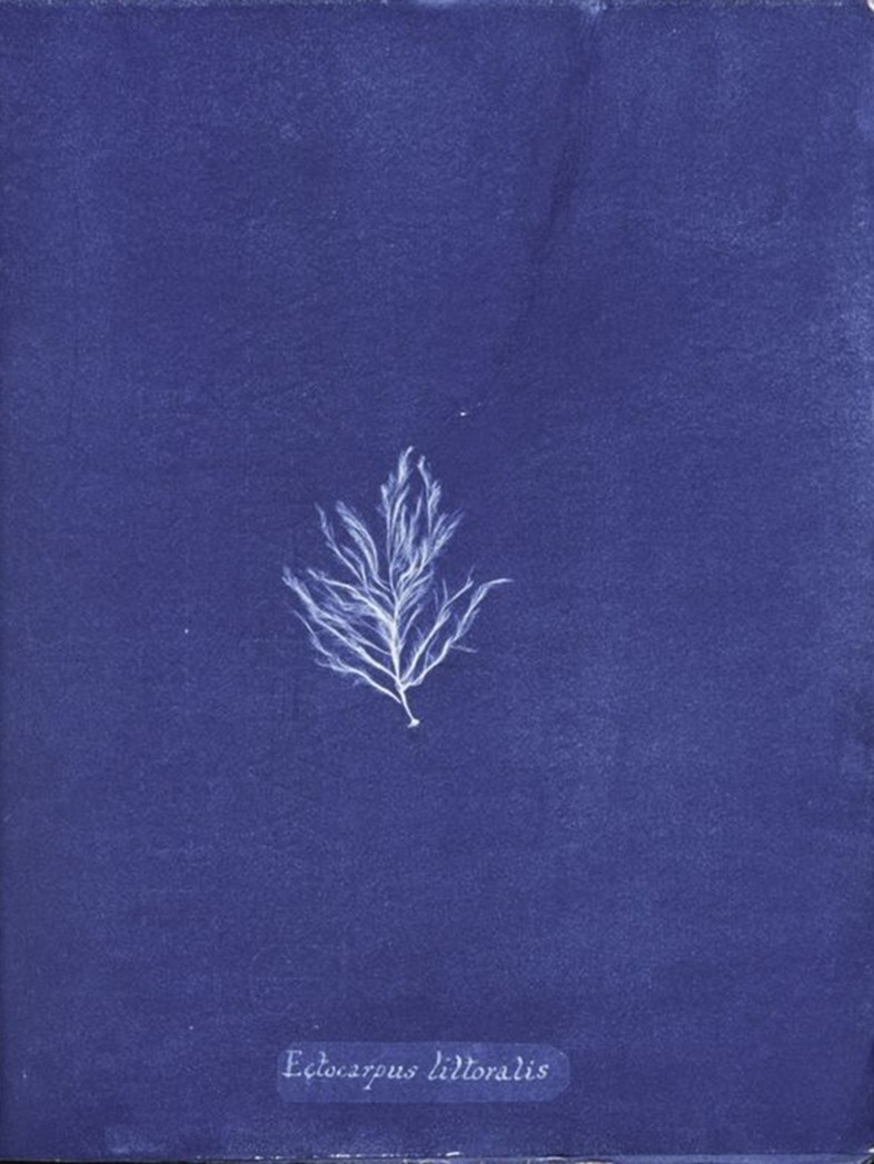 Ocean Flowers by Anna Atkins