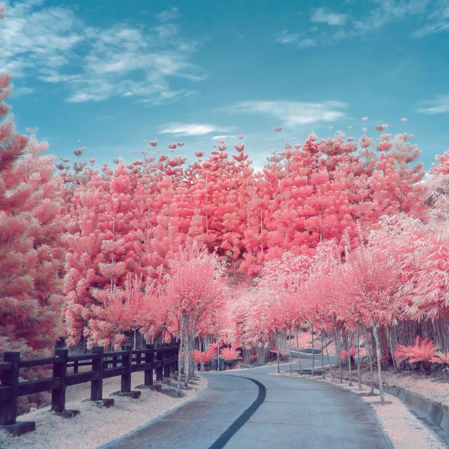 Pink cherry blossoms on an empty road
