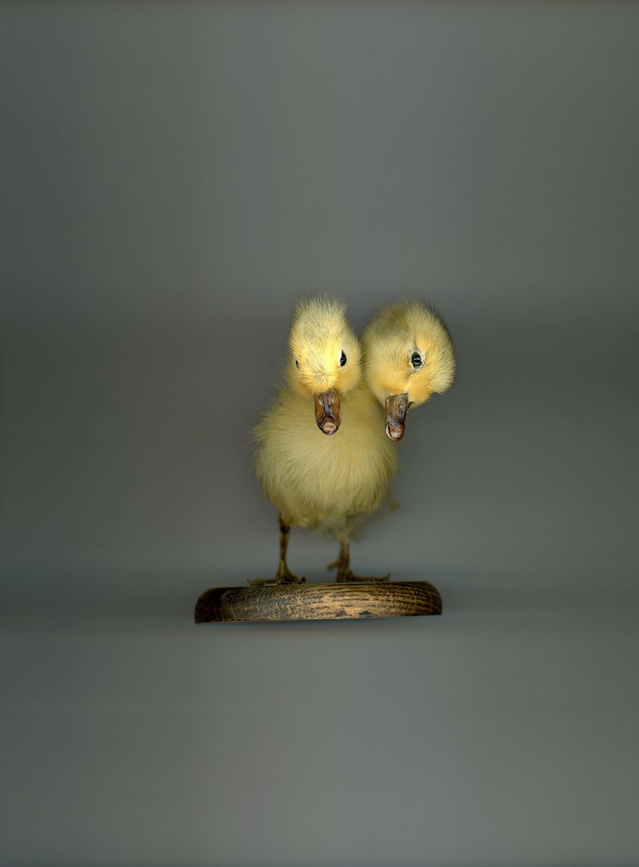 62 - TWO-HEADED CHICK